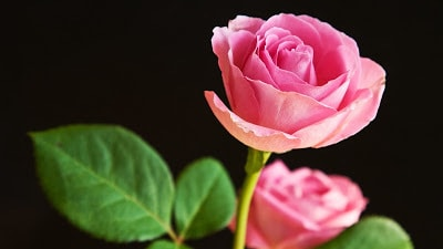 Beautiful Flowers Wallpapers For Propose Day