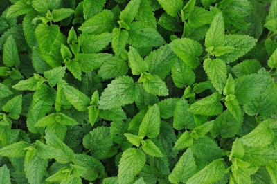 Impressive-Advantages-of-Mint-Leaves