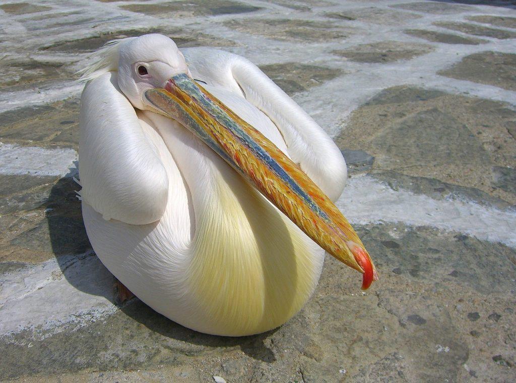 Pelicans in Mykonos
